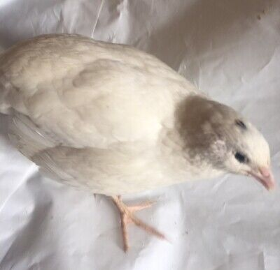12 Pure White Japanese Coturnix Quail Hatching Eggs, Quails/Partridges/Pheasant