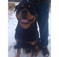 Young Male Rottweiler