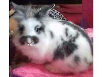 Long haired dwarf rabbit