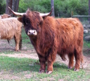 Grass Fed Highland Beef