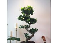 Large bonsai