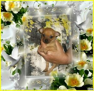 5 Tout Petits Chihuahuas 3 fem+2 mâles de 2 lb. à 4 1/2 lb adul. Saguenay Saguenay-Lac-Saint-Jean image 10