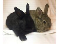 Mother and Baby Rabbits for Sale