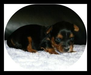 Canadian Kennel Club Registered Yorkie Puppies