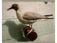 Vintage black headed Gull. Wall mounted taxidermy.