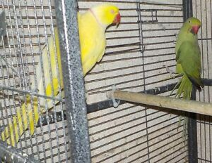 RINGNECK PAIRS FOR SALE - NEW PRICE