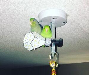 Baby parrotlet female green 8 wks