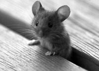 LF A Baby mouse