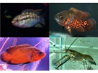Oddball Tropical Fish for sale - See Add for Prices & Sizes - Oscars, Acaras, Crayfish/ Lobsters