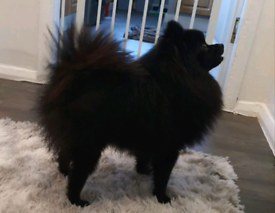 Black pomeranian boy