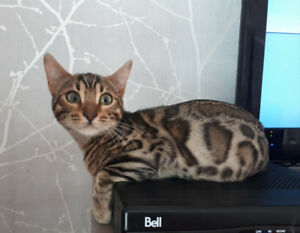 2 beaux chatons bengal