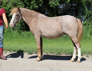 Registered 2008 Curly Pony