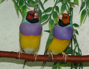 Male and female gouldians