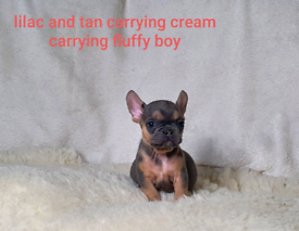 Fluffy lilac and tan French bulldogs