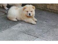 Beautiful Chow-chow pups