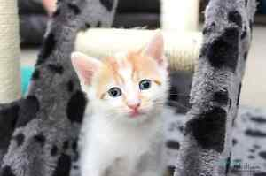 Chester rescue kitten VET WORK INCLUDED Ocean Reef Joondalup Area Preview