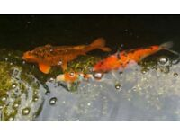 3 Koi Pond fish