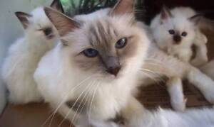 Lovely Lilac point Birman Female Glass House Mountains Caloundra Area Preview