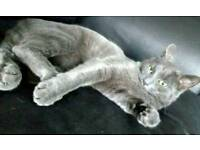 Pedigree Female Russian Blue kitten