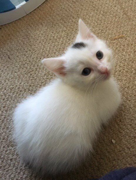 Two male 10 weeks old Kittens for Sale Cross Rag Doll