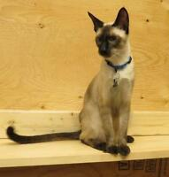 Male Siamese Cat T.C.A. Registered
