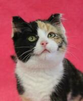 "Baby Female Cat - Domestic Short Hair-Calico: ""Aster"""