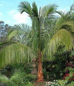 Madagascan COCONUT Palmtree for Cold areas, sydney, melbn, adelde Casula Liverpool Area Preview