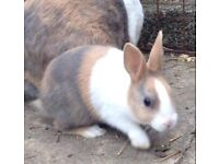 Dutch Baby Rabbits For Sale