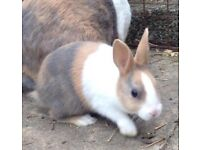 Baby Dutch Rabbits For Sale