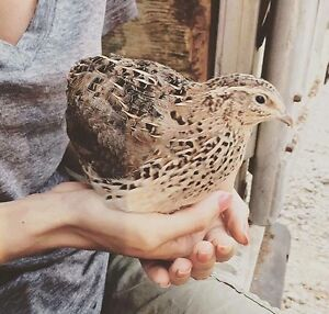 4.5 week old Jumbo Coturnix Quail and fertilized eggs