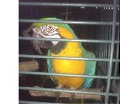 Blue & Gold Macaw (male, 7yo)