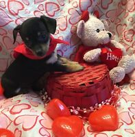 Chihuahua X toy fox terrier puppies ready now PRICE FIRM