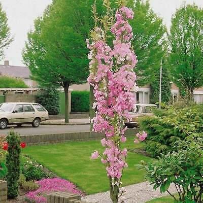 Cherry Blossom Tree 9L Pot Prunus Amanogawa Pink Flowering Ornamental Tree