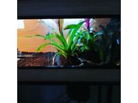 Green Ameiva for sale West London & Repti-Life Vivarium 48x18x18