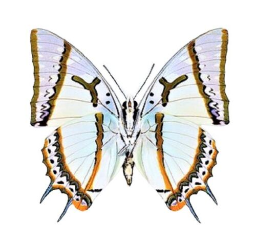 ONE REAL BUTTERFLY POLYURA EUDAMIPPUS INDONESIA UNMOUNTED WINGS CLOSED