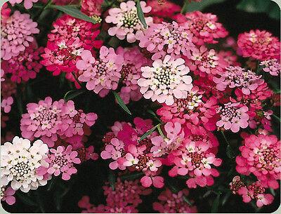 candytuft, PERENNIAL white pink FLOWER, 650 seeds! GroCo BUY US (650 Seeds)