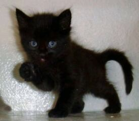 Two black kittens for sale boy and girl