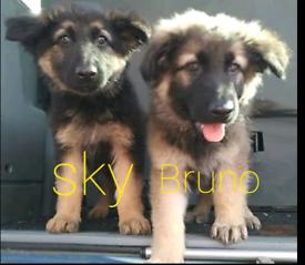 3 beautiful German Shepherds