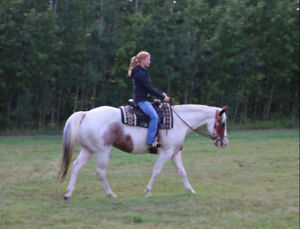 Handsome 4yr old APHA gelding - going well undersaddle