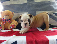 English Bulldog Quality Puppies here!!
