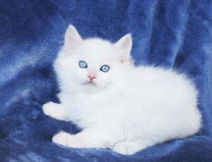 Ragdoll Kittens are Ready to go to their New Homes