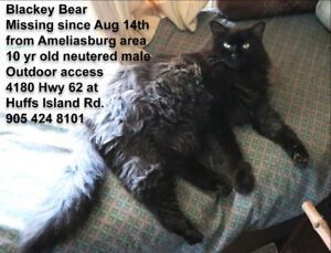 Missing/Lost Cat-Ameliasburg-Prince Edward County