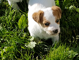 Two male English Jack Russell Terrier pups