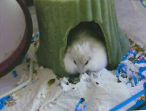 Female Dwarf Hamster with Cage  $25 for all