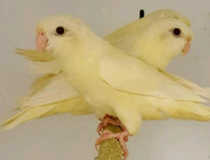 Wanted ( one female linnie parakeet)