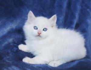 White Ragdoll Male Kittens