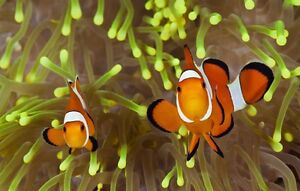 Looking for pair or clown fish