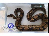 Royal Python / Ball pythons
