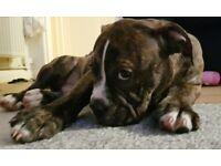 4 month olde english bulldog puppy