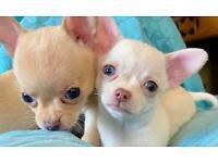 Chihuahuas smooth coat KC girls